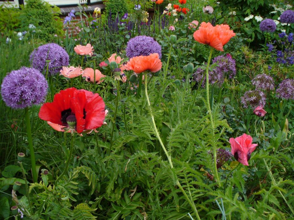Great combination of Allium and Papaver.