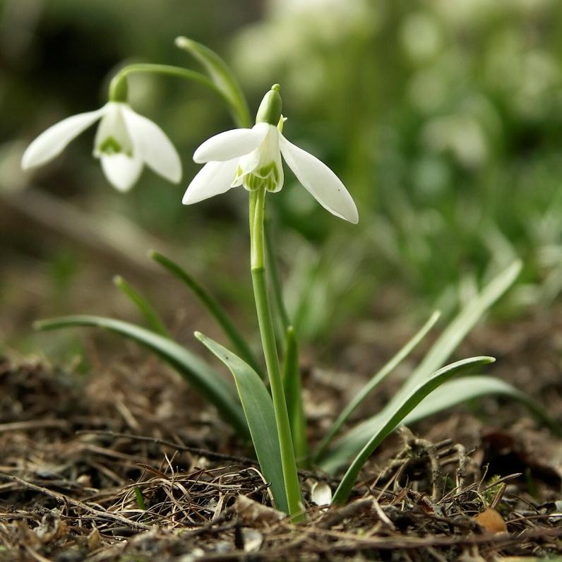 Galanthus nivalis (sneeuwklokje)