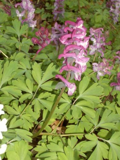 Corydalis cava (Holwortel)