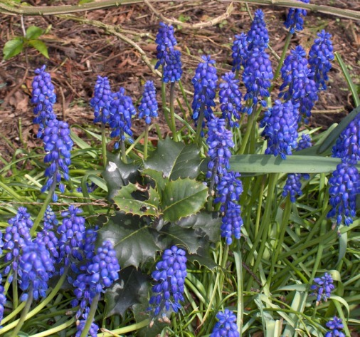 Muscari botryoides (Blauwe Druif)