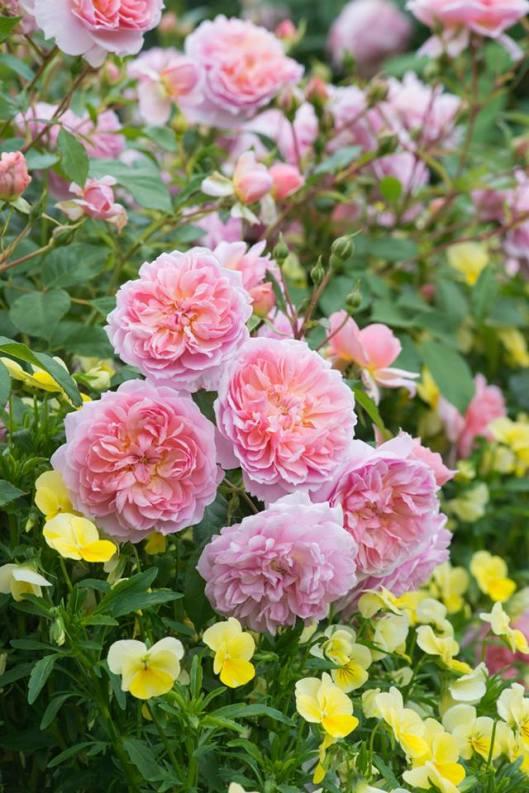 3 - (Anne Boleyn) David Austin rozen voor de gemengde border