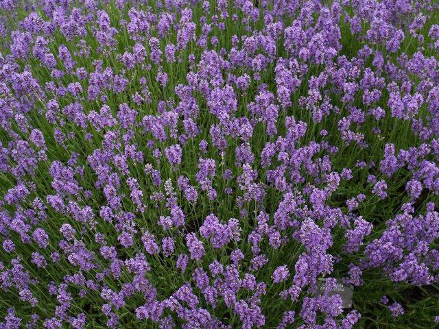 Buitenleven Relaxen Lavendel : Lavendel relaxen met een franse zonaanbidder u tuinenstruinen