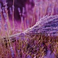 Lavendel: relaxen met een Franse zonaanbidder