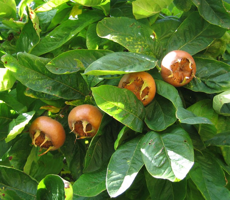 Medlar_pomes_and_leaves