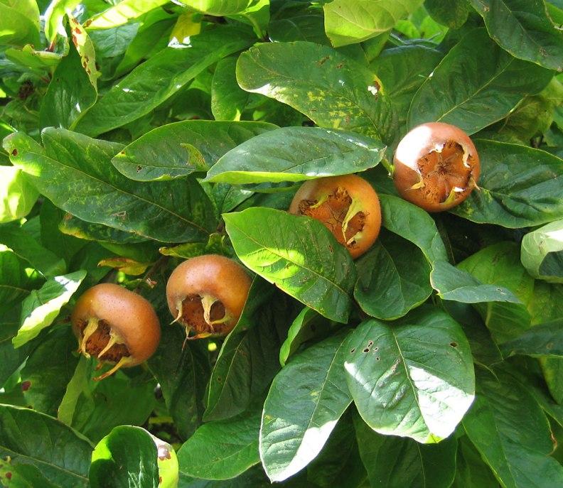 Medlar_pomes_and_leaves