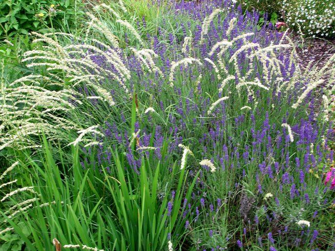 Idee kleine tuin welke vaste planten : Lavendel: relaxen met een Franse zonaanbidder