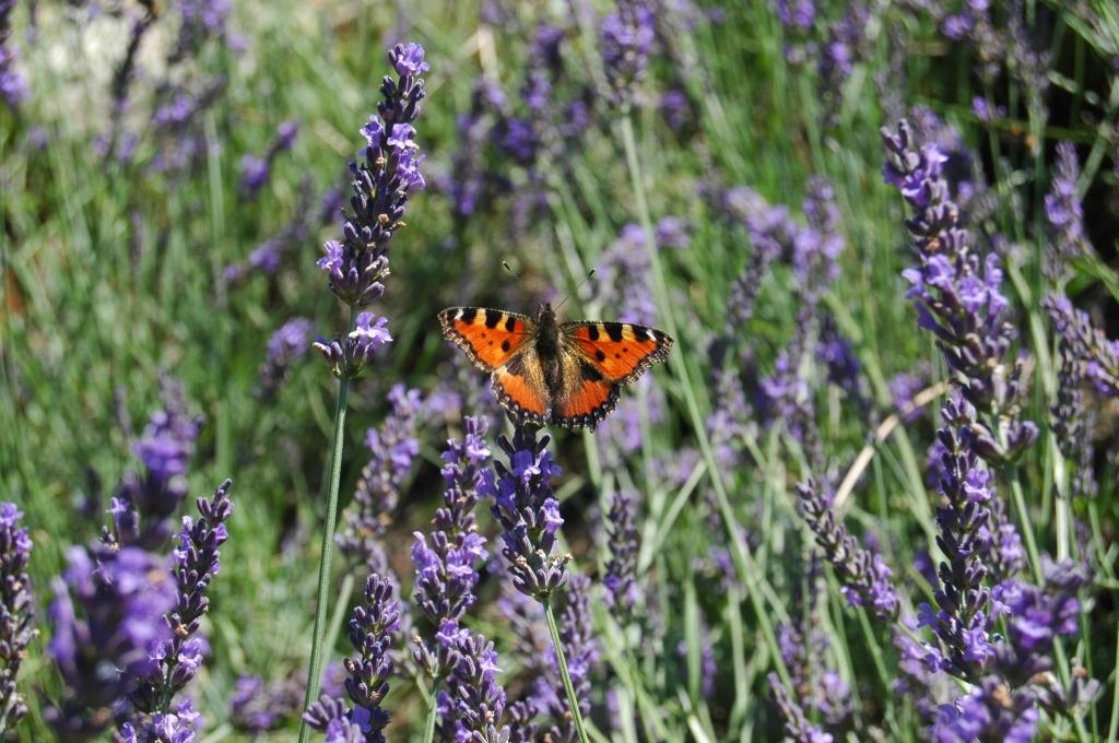 vlinder lavendel