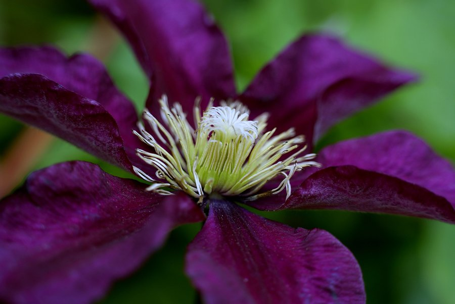 Clematis 'Gipsy Queen' - Late large Flowered group