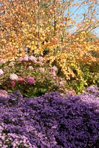 Herfstborder met Cercidiphyllum, Hydrangea en Aster