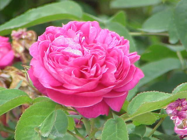 De rozenliefde van Lady Vita Sackville-West
