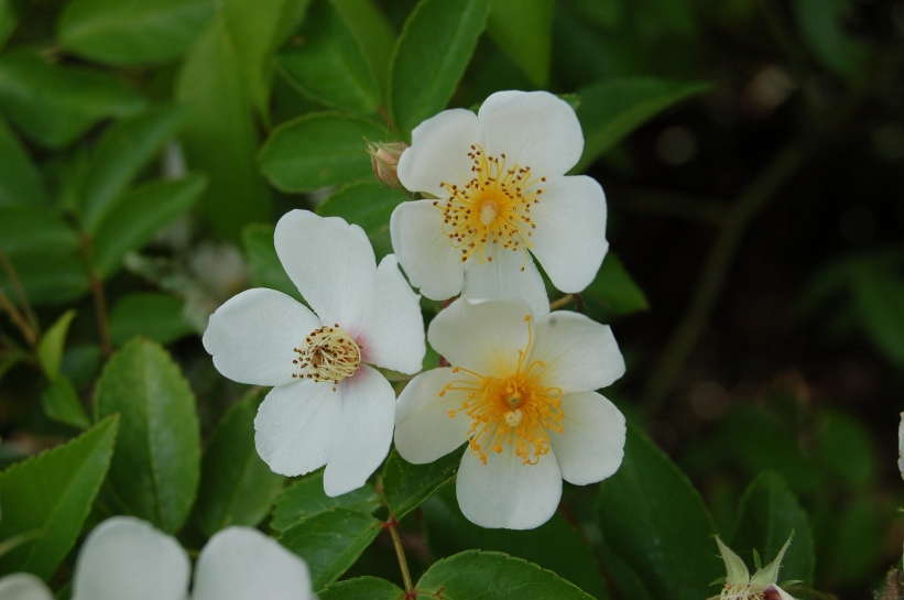 Rosa filipes - wikipedia
