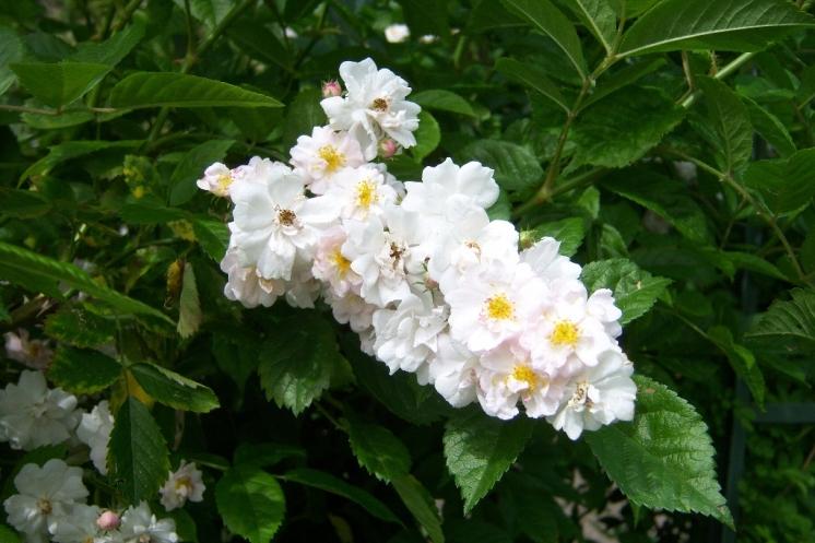 Rosa mulligannii - florum.fr