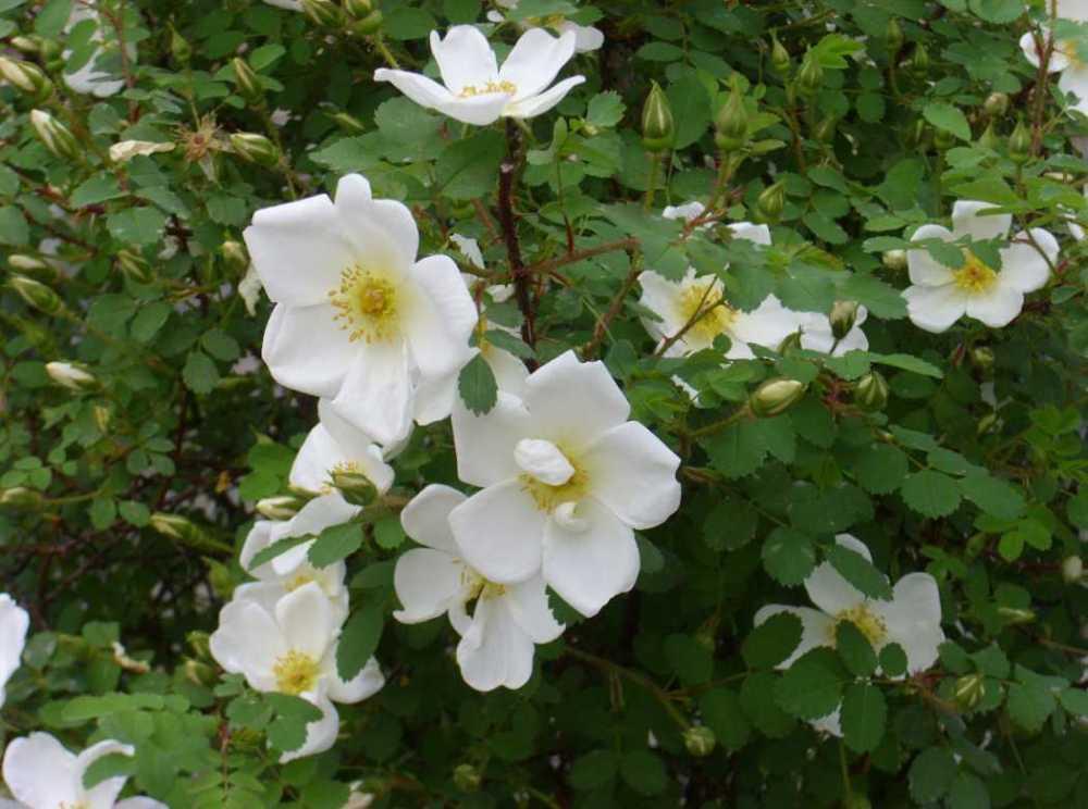 pimpinellifolia3