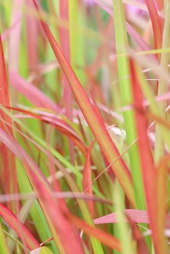 Japans bloedgras (Imperata cylindrica 'Red Baron')
