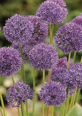 Lage sieruien Allium (20)