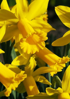 Mini-narcisjes Narcissus (20)