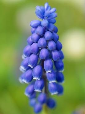 Blauwe of witte druifjes Muscari (25)