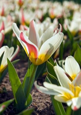 Botanische tulpjes Tulipa (laag 25, hoog 15)