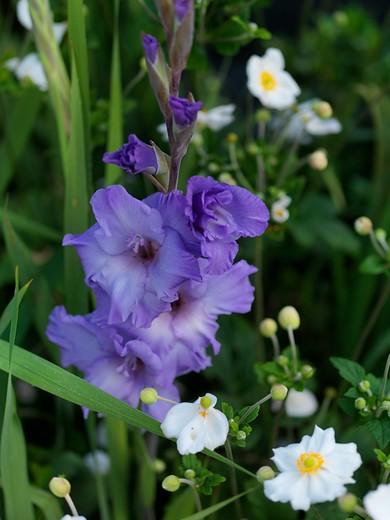 Gladiolus 'Milka'