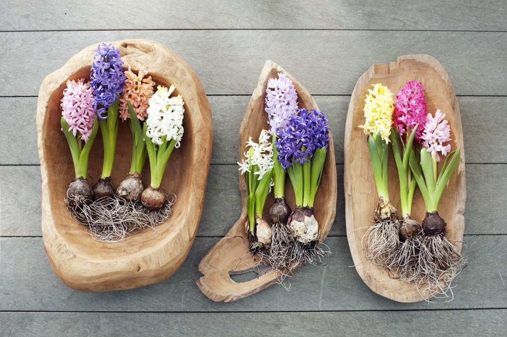 12.hyacint.6