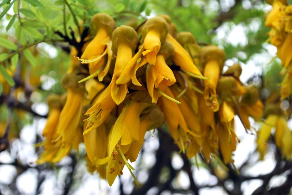 Sophora microphylla