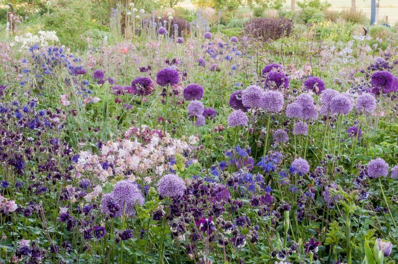de Alliums in de Voorjaarstuin (juni)