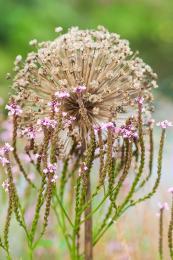 Allium 'Mount Everest' en Verbena hastata 'Rosea'