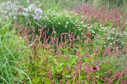 Persicaria is onmisbaar (eind aug)