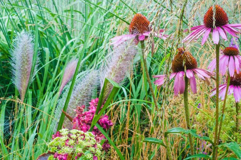 Pennisetum 'Cassian' met Echinacea p. 'Magnus'