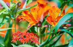 Alstroemeria aurea 'Orange King' en Lychnis chalcedonica