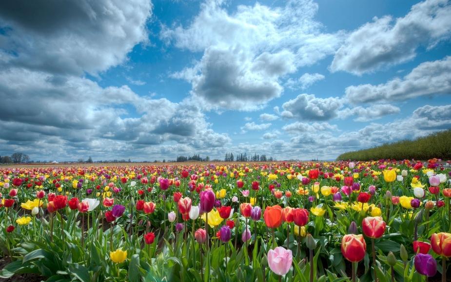 tulips-scenery