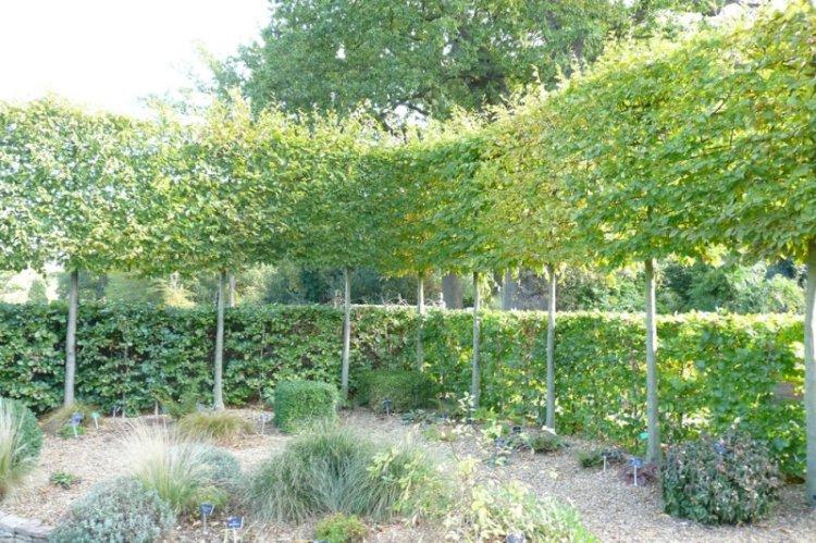 Verschillende hagen van Carpinus.