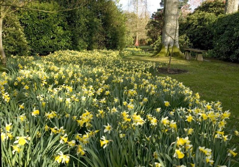 Daffodils%2520looking%2520East