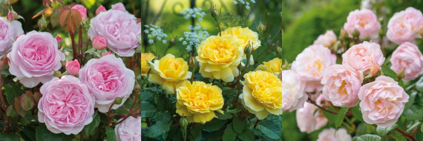 De nieuwe rozen van David Austin in 2015