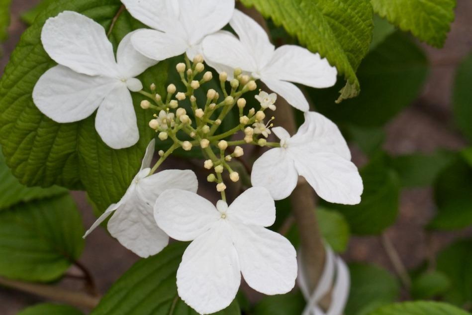 Viburnum plicatum 'Kilimanjaro'