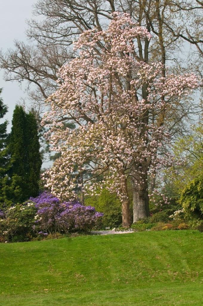De imposante Magnolia.