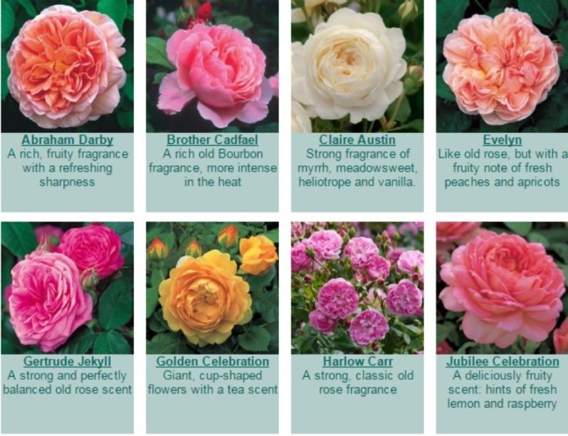 Fragrant Roses   David Austin Roses