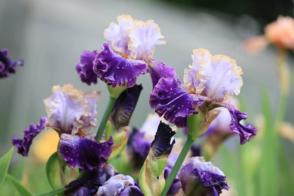 De mooie en veelzijdige Iris past in elke tuin