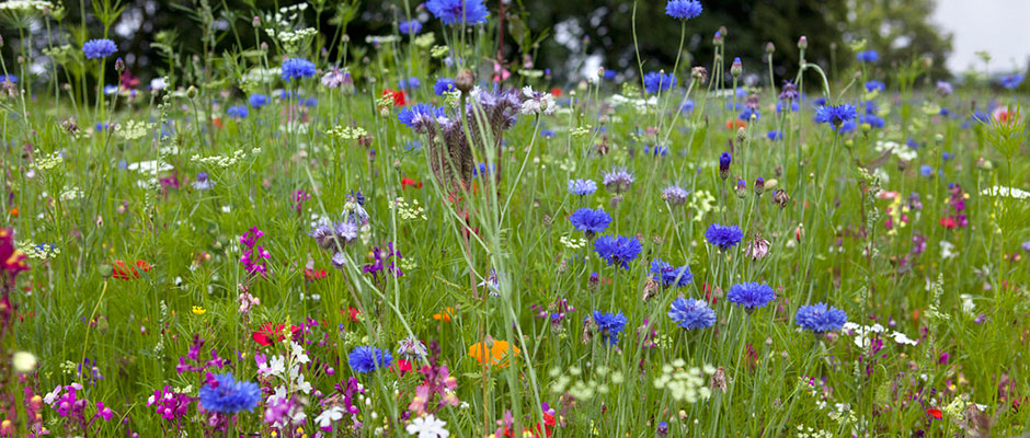 Annual-pictorial-meadow_940x400