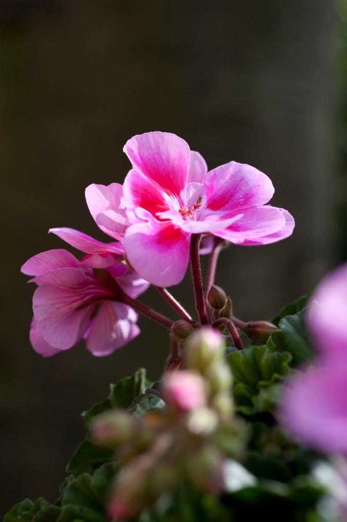 balkonplant-2016-geranium