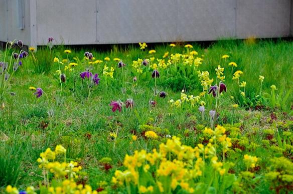 Moorgate Crofts Green Roof Foto: Nigel Dunnett