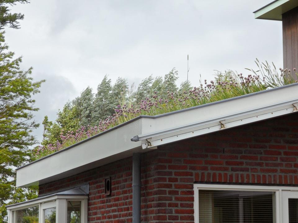 Allium op een groendak in Zaandam