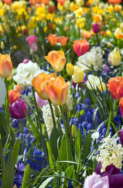 Tulipa; Muscari; Hyacinthus