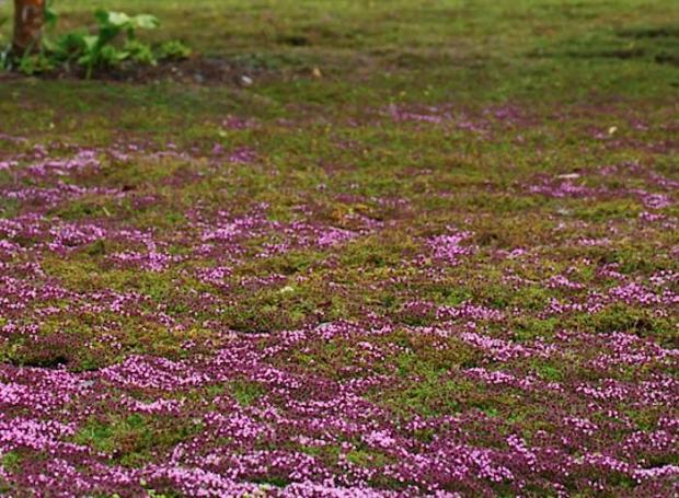 700_thyme-lawn-alternative