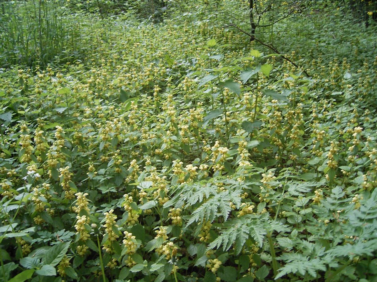 Lamium galeobdolon Foto; commons.wikimedia.org
