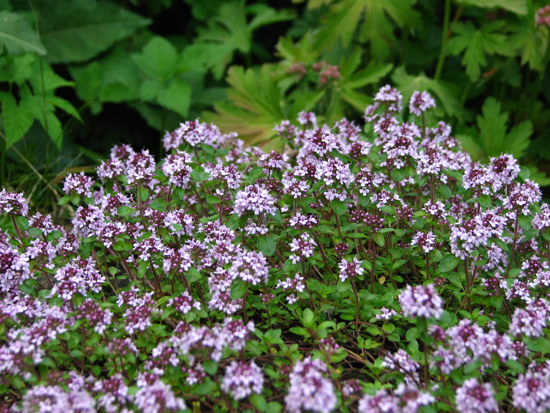 Bloeiende Thymus serphyllum Foto; commons.wikimedia.org