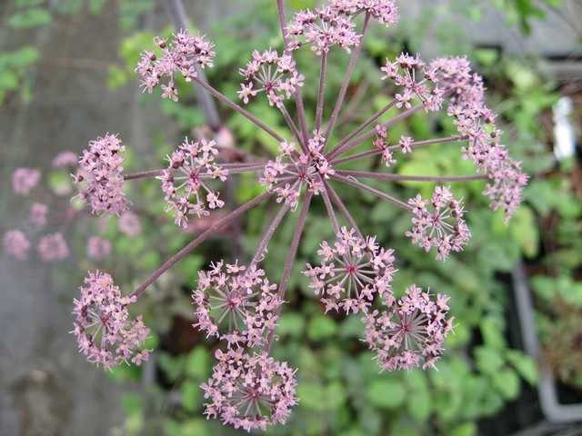 Angelica sylvestris 'Vicars Mead' foto; hardys-plants.co.uk