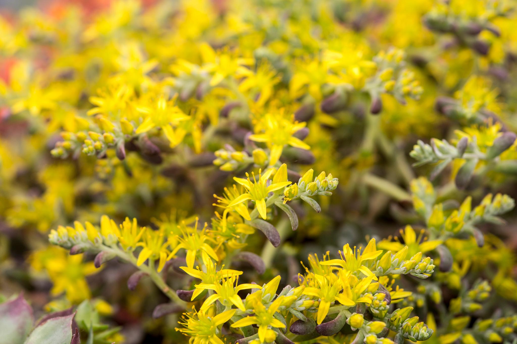 Alpine-dwergen verdienen een plek(je) in elke Hollandse tuin