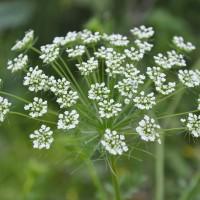 GO WILD! Schermbloemen onmisbaar voor tuinen in natuurstijl