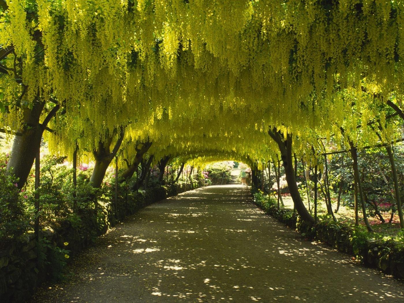 laburnum_arch_bodnant_garden_gwynedd_wales-1400x1050